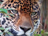 jaguar35